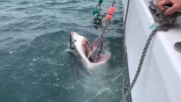 Great White Shark Africa Mossel Bay South Africa